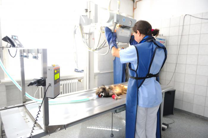 Dogs are X-rayed under anesthesia.